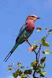 Roller by mmynx34, photography->birds gallery