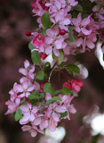 Crabapple Blossoms (3) by Pistos, photography->flowers gallery