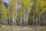 aspens at sheep's springs by jeenie11, Photography->Landscape gallery