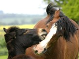 Mule&shire horse by pom1, photography->animals gallery