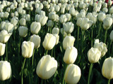 White tulips by dave54, Photography->Flowers gallery