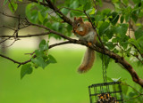 A Furry Visitor At The Bird Feeding Station by tigger3, Photography->Animals gallery