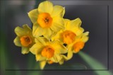 Jonquil by LynEve, photography->flowers gallery