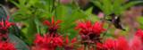 Hummingbird Among The Bee Balm by tigger3, photography->birds gallery