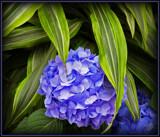 Hidden Hydrangea 2 by trixxie17, photography->flowers gallery
