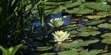 Lily Pond Lovely by tigger3, photography->gardens gallery