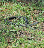 ...In The Grass by SR21, Photography->Reptiles/amphibians gallery