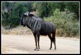 Gnu by mmynx34, photography->animals gallery