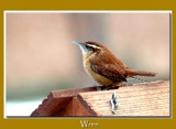 Wren by gerryp, Photography->Birds gallery