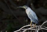 Striated Heron by jeenie11, photography->birds gallery