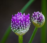 Allium Buds by Pistos, photography->flowers gallery