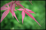 japanese maple by Leesk, photography->flowers gallery