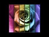 A Rose of Many Colors by DTwiegraphics, Photography->Manipulation gallery