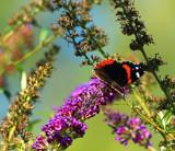 Butterfly Garden by tigger3, photography->butterflies gallery