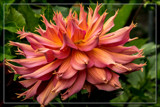Dahlia Show 05 by corngrowth, photography->flowers gallery