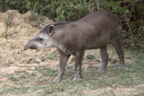 South American Tapir by jeenie11, photography->animals gallery