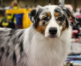 Dog Show Contender by tigger3, photography->pets gallery