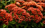 Deep Sedum by trixxie17, photography->flowers gallery