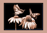 Butterfly Duet by cynlee, photography->butterflies gallery