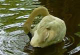 Swan Lake IX by JEdMc91, Photography->Birds gallery