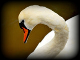Shy Swan by braces, Photography->Birds gallery