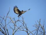 Jackal Buzzard by alanj, photography->birds gallery