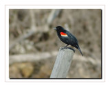 Male Red Winged Blackbird by gerryp, Photography->Birds gallery