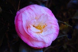 "Camelia ""Doctor Tinsley"" by flanno2610, Photography->Flowers gallery"
