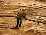 bee-eaters by ppigeon, Photography->Birds gallery