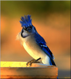Blue Jay With Big Hair by tigger3, photography->birds gallery