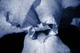 Blue Iris by Flurije, Photography->Flowers gallery