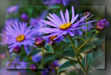 Michaelmas Daisies by LynEve, photography->flowers gallery