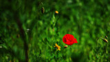 Poppy In The Park by braces, photography->flowers gallery