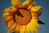 Sunny Side Up by meandian, Photography->Flowers gallery