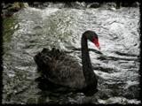 Black Swan (Cygnus atratus) by LynEve, photography->birds gallery