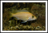 Cichlid by Bursa, photography->pets gallery
