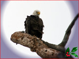 A Patriotic Merry Christmas by madmaven, photography->birds gallery
