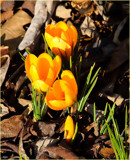 The Crocus by tigger3, photography->flowers gallery