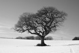 Oak tree in snow by krt, photography->landscape gallery