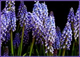 Muscari - Grape Hyacinths by trixxie17, photography->flowers gallery