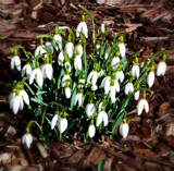 Snowdrops by trixxie17, photography->flowers gallery