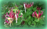 Honeysuckle by TheWhisperer, photography->flowers gallery