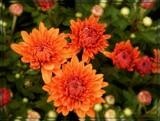 """Miranda Orange"" Mum by trixxie17, photography->flowers gallery"