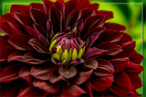 Dahlia Show 07 by corngrowth, photography->flowers gallery