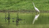 Egret At Silver Lake by Jimbobedsel, photography->birds gallery