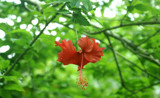 Christmas Hibiscus by PamParson, Photography->Flowers gallery