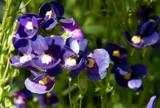 Bluebird Nemesia by trixxie17, photography->flowers gallery