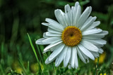 Daisy by Eubeen, photography->flowers gallery