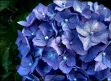 Hydrangea - shades of blue. by LynEve, photography->flowers gallery