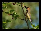 Cedar Waxwing by gerryp, Photography->Birds gallery